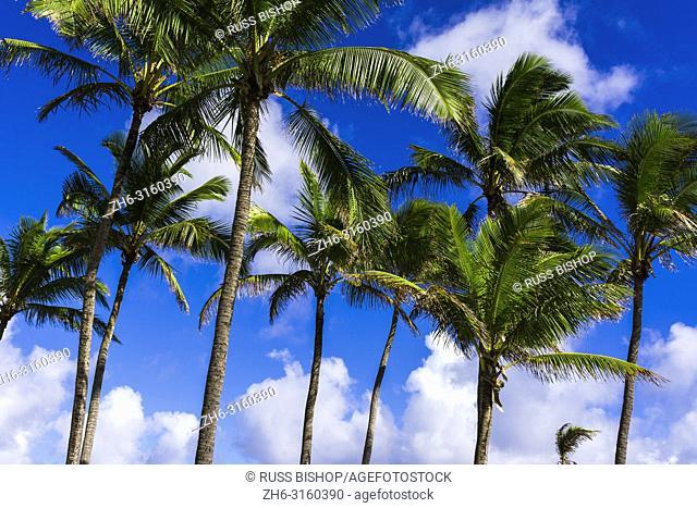 Coconut palms, Kapaa, Kauai, Hawaii USA