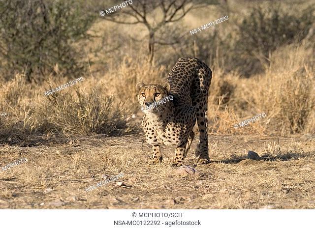 Cheetah starts jumping