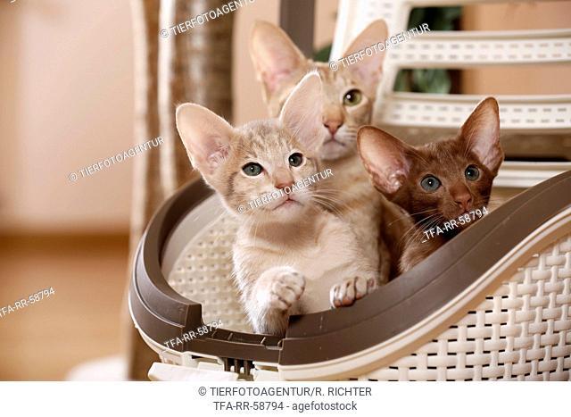 Oriental Shorthair kitten