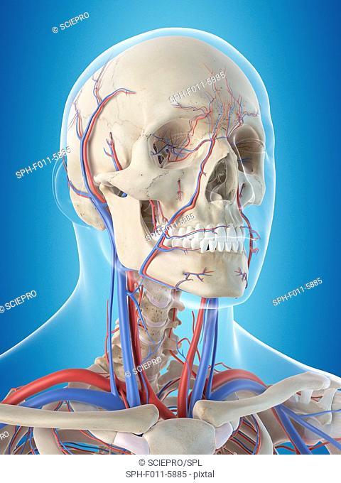 Human vascular system of the head, computer illustration