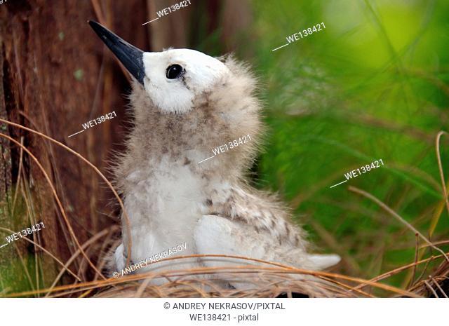 Fairy, White Tern Bird or holy ghost bird (Gygis alba) baby, Denis island, Seychelles