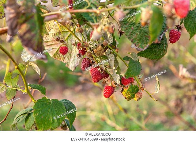 Ripe raspberries on bush on farm field