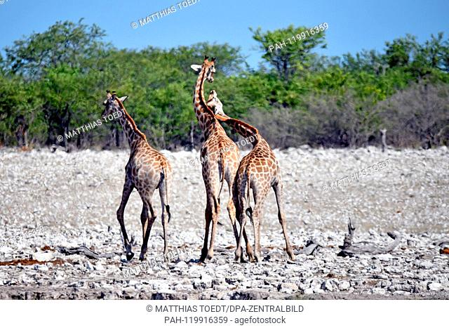 Semi-juvenile Giraffe calves wrestle in the Etosha National Park witheinander, beating themselves like adult animals in the rut with their heads and helses