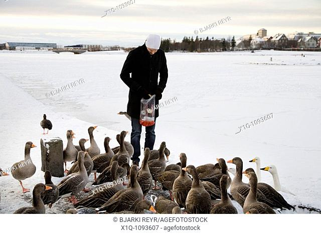 Man feeding the birds some bread on Tjornin lake  Downtown Reykjavik Iceland