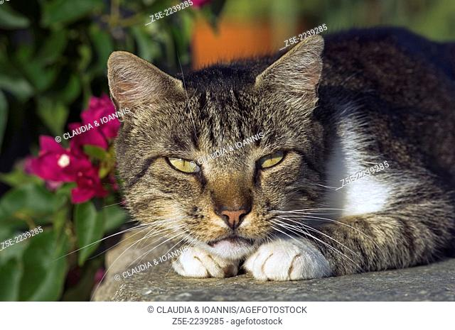 Portrait of a dozing cat looking at camera