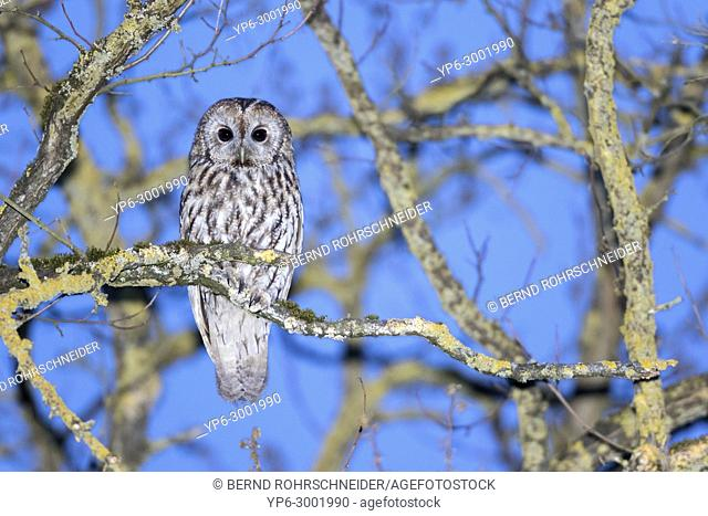 Tawny owl (Strix aluco), adult perched on branch at dusk, Trier, Rhineland-Palatinate, Germany