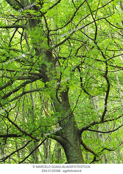 Beech tree branches (Fagus sylvatica). Spring time at Montseny Natural Park. Barcelona province, Catalonia, Spain