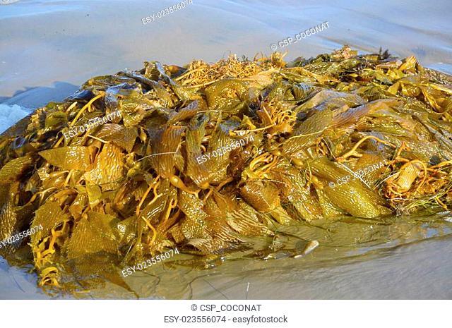 Makrotsistis algae