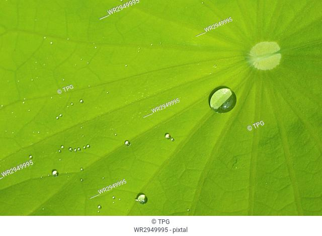 It is a leaf of waterlily with dew in the morning