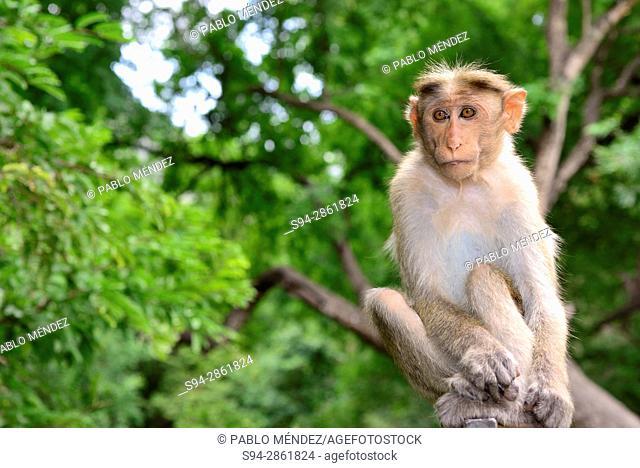 Macaque (Macaca radiata) in Wildlife sanctuary of Chinnar, Idukki province, Kerala, India