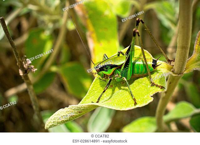 Green grasshopper on the leaf
