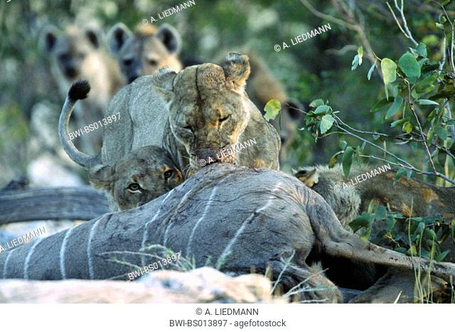 lion (Panthera leo), three lions, feeding at kudu, hyaenas waiting in the background, Namibia, Ovamboland, Etoscha NP