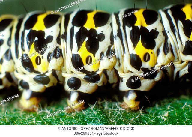 Caterpillar (Cucullio scrophulariae), detail of spiracles