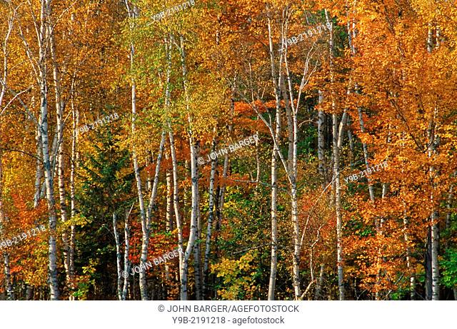 Autumn colors of birch and maple in northern hardwood forest, Porcupine Mountain Wilderness State Park, Upper Peninsula, Michigan, USA