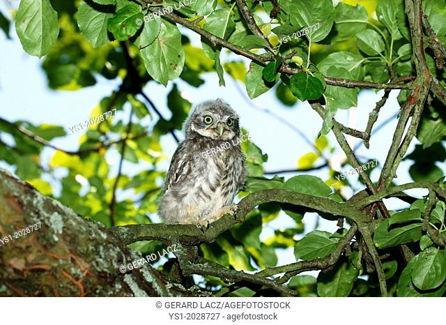 Little Owl, athene noctua, Young standing on Branch, Normandy