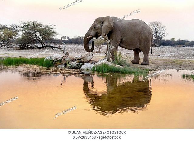 Elephant drinking at sunset (Loxodonta africana). Etosha National Park. Namibia. Africa