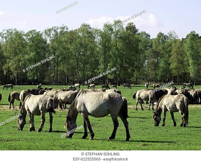 Wildpferde im Münsterland