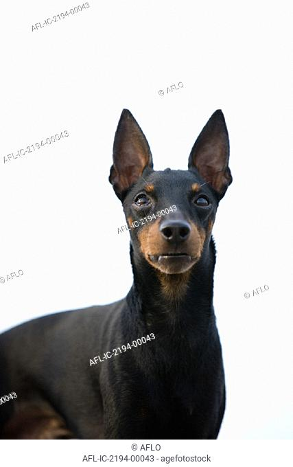 Close up of a Manchester terrier on a white background