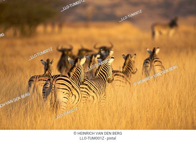 Rear view of Plains Zebra Equus quagga, Tala Game reserve, KwaZulu-Natal Province, South Africa