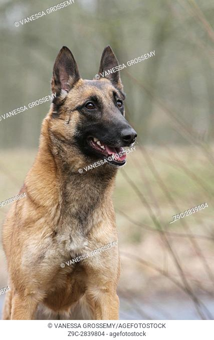 Dog Belgian shepherd Malinois adult portrait