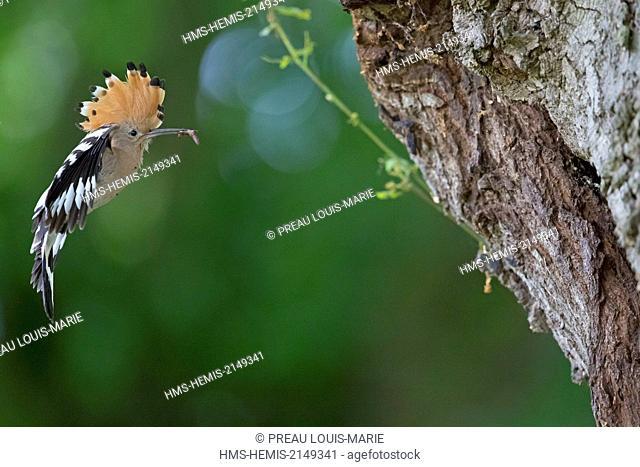 France, Maine et Loire, Tierce, Eurasian Hoopoe, (Upupa epops)