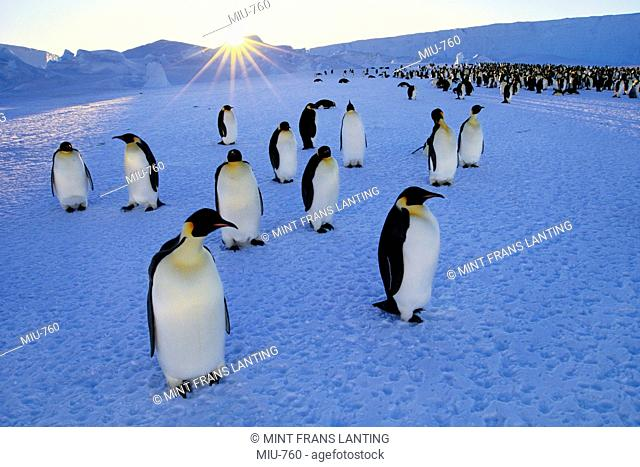 Emperor penguins and setting sun, Aptenodytes forsteri, Weddell Sea, Antarctica