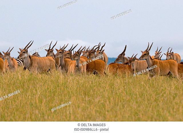 Eland (Taurotragus oryx), Masai Mara National Reserve, Kenya