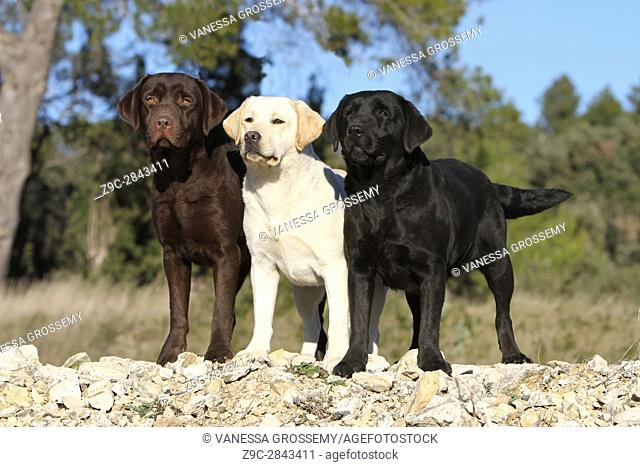 Dog Labrador Retriever