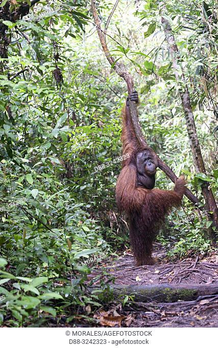 Asia, Indonesia, Borneo, Tanjung Puting National Park, Bornean orangutan (Pongo pygmaeus pygmaeus), adult male on the ground