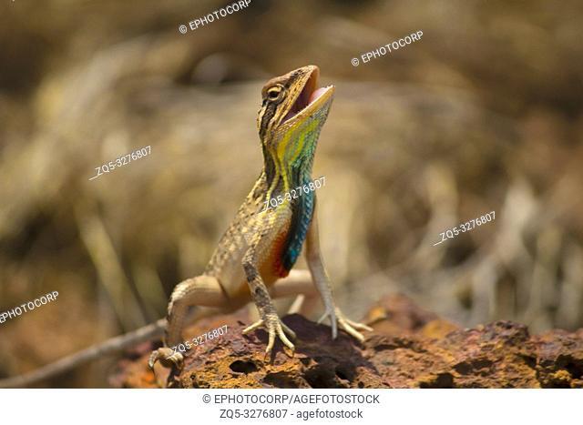 Fan Throated Lizard, Sitana ponticeriana, Close-up, Satara, Maharashtra, India