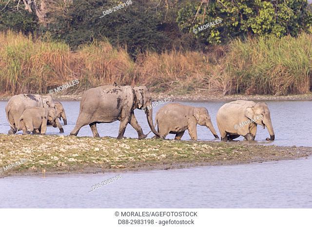 India, State of Assam, Kaziranga National Park, domestic Asian Elephant (Elephas maximus), Wild, Group, Wildlife, Animal themes