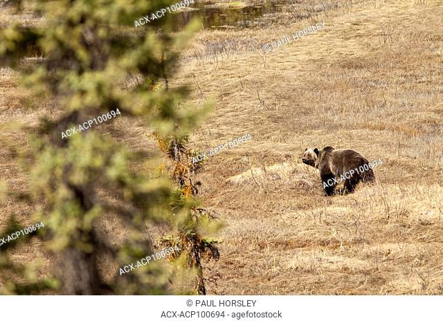 Grizzley Bear standing in a clearing in Jasper National Park, Alberta, Canada
