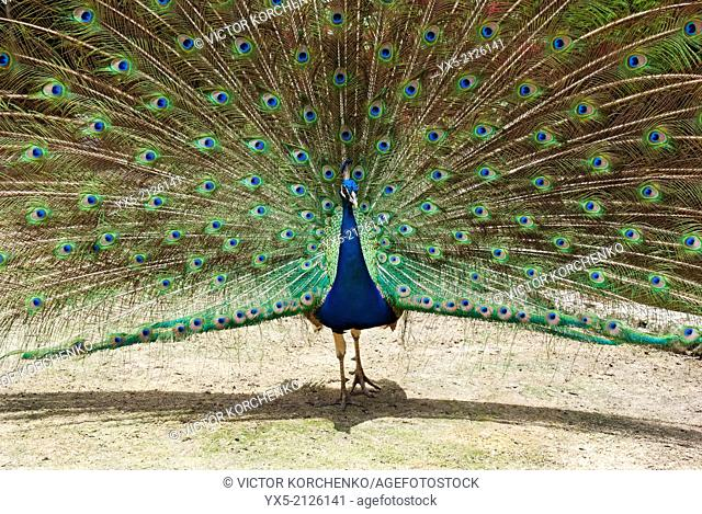 Peacock (Pavo cristatus) spreading its feathers in Ardastra Gardens in Nassau, Bahamas