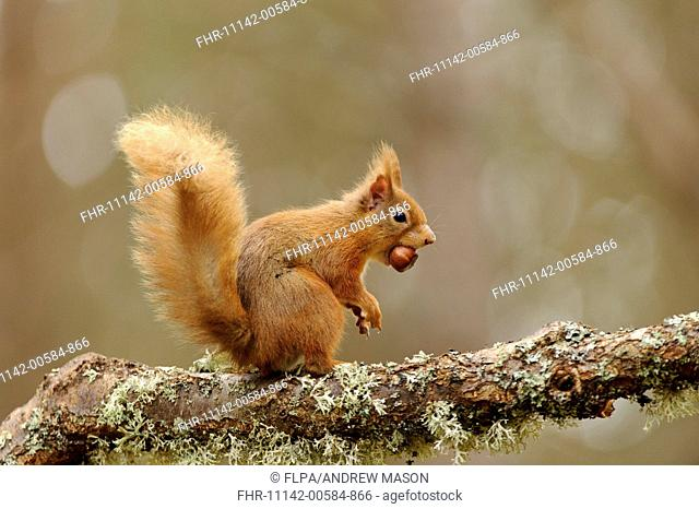 Eurasian Red Squirrel (Sciurus vulgaris) adult, with hazelnut in mouth, sitting on lichen covered branch in coniferous forest, Glen Feshie, Cairngorms N