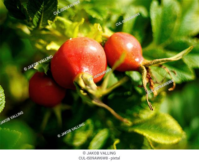 Red rosehips on garden bush