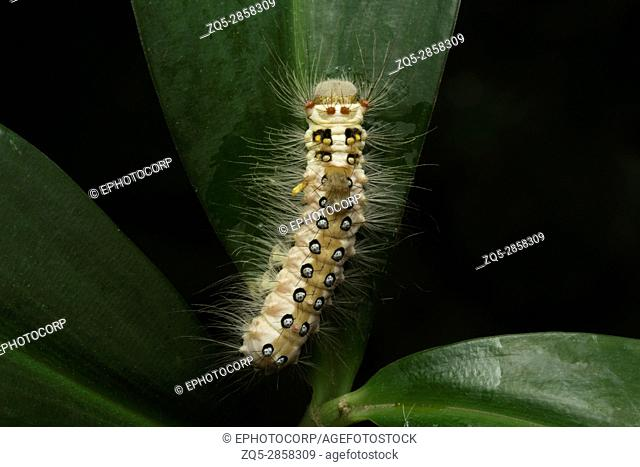 Moth caterpillar , Aarey Milk Colony , INDIA. Presence of long hair-like ,spiny bristles called 'setae' is one of the defense strategies seen in families of...