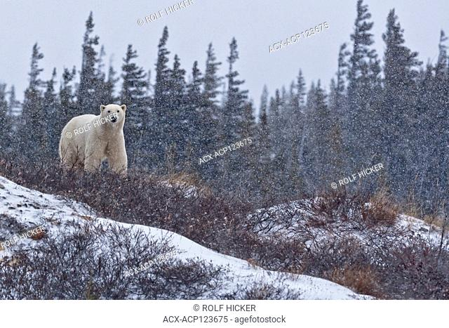 Polar Bear, Ursus maritimus, peering over a ridge in the tundra near the shores of Hudson Bay, Churchill, Manitoba, Canada
