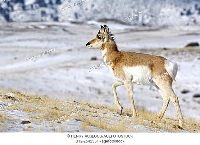 Pronghorn Antilocapra americana, Yellowstone, Northern America