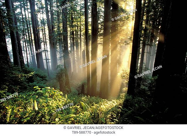 Sunrays shining through forest. Redwoods National Park. California. USA