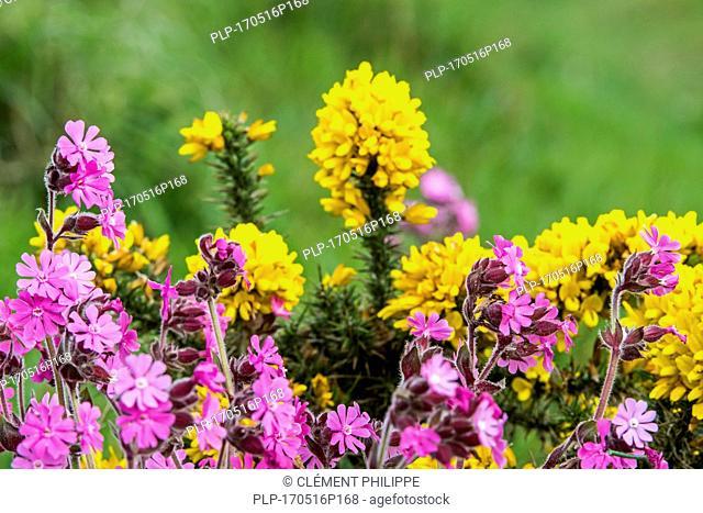 Red campion / red catchfly (Silene dioica / Melandrium rubrum / Lychnis diurna) and common gorse / furze / whin (Ulex europaeus) in flower in spring