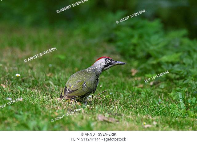 European green woodpecker (Picus viridis) female searching for ants in grassland