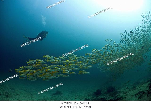 Oman,Gulf of Oman, diver and shoal of yellowtail snappers (Ocyurus chrysurus)