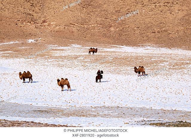 Mongolia, Bayan-Olgii province, Kazakh eagle hunter, Golden Eagle hunting in Altai mountains