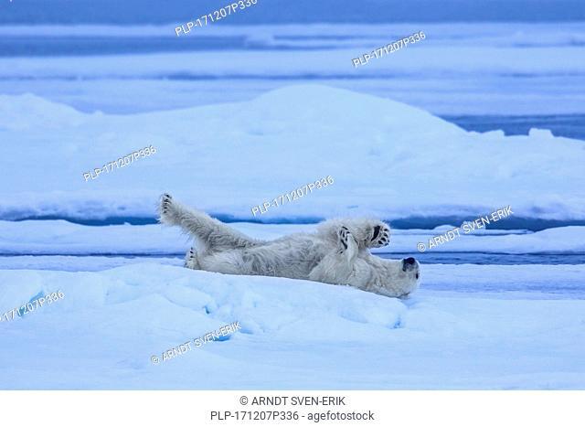 Solitary polar bear (Ursus maritimus / Thalarctos maritimus) resting on ice floe in Arctic ocean