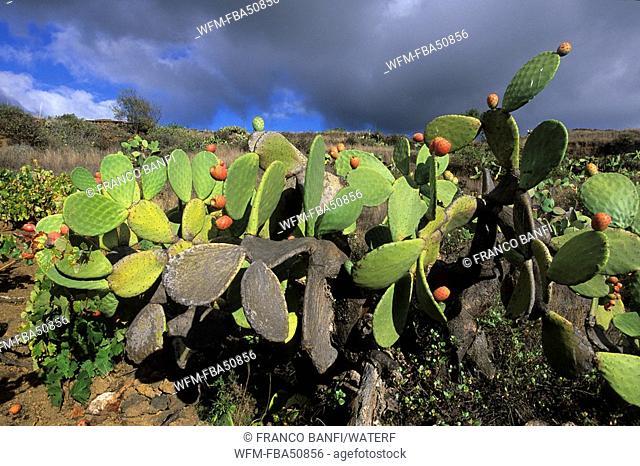 prickly pear, Opuntia ficus-indica, El Hierro, Canary Islands, Spain