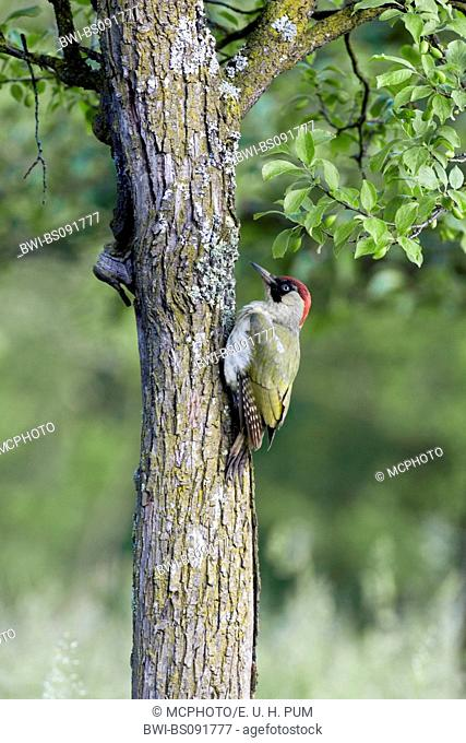 green woodpecker (Picus viridis), female sitting at trunk, Austria