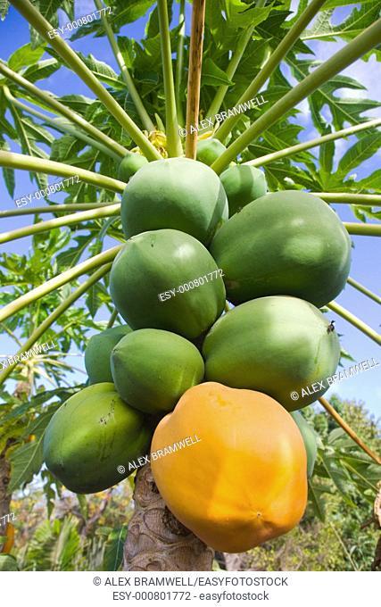 Carica papaya with both ripe and unripe papaya or pawpaw fruit