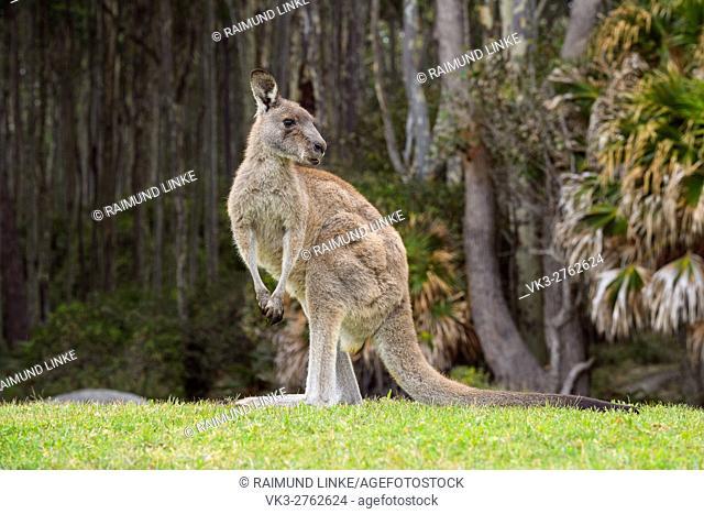 Grey Kangaroo, Macropus giganteus, Murramarang National Park, New South Wales, Australia