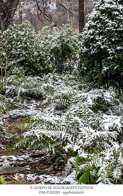 A dusting of snow on the leaves on ferns, hollies and other plants in a garden during a snow storm.Birmingham, Alabama, USA
