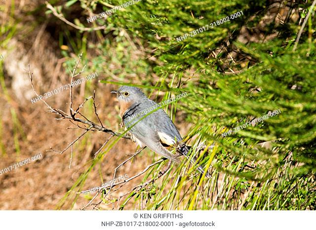 Fan-tailed Cuckoo Cacomantis flabelliformis Found over Eastern & Southern Australia